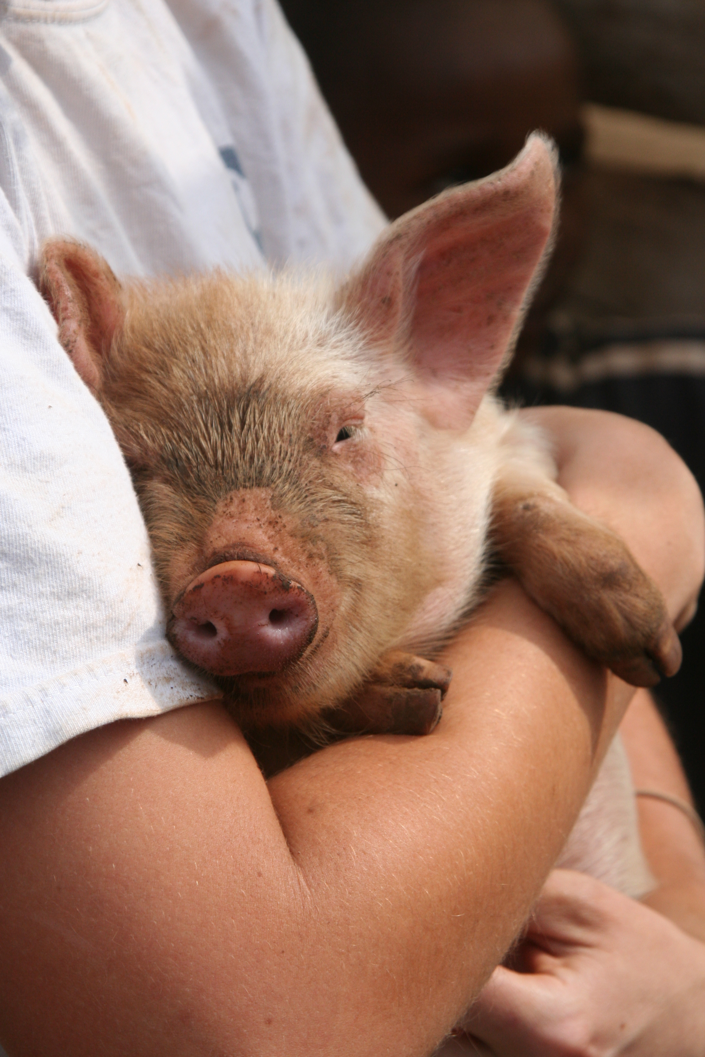 Livingstone Tanzania Trust pig breeding project