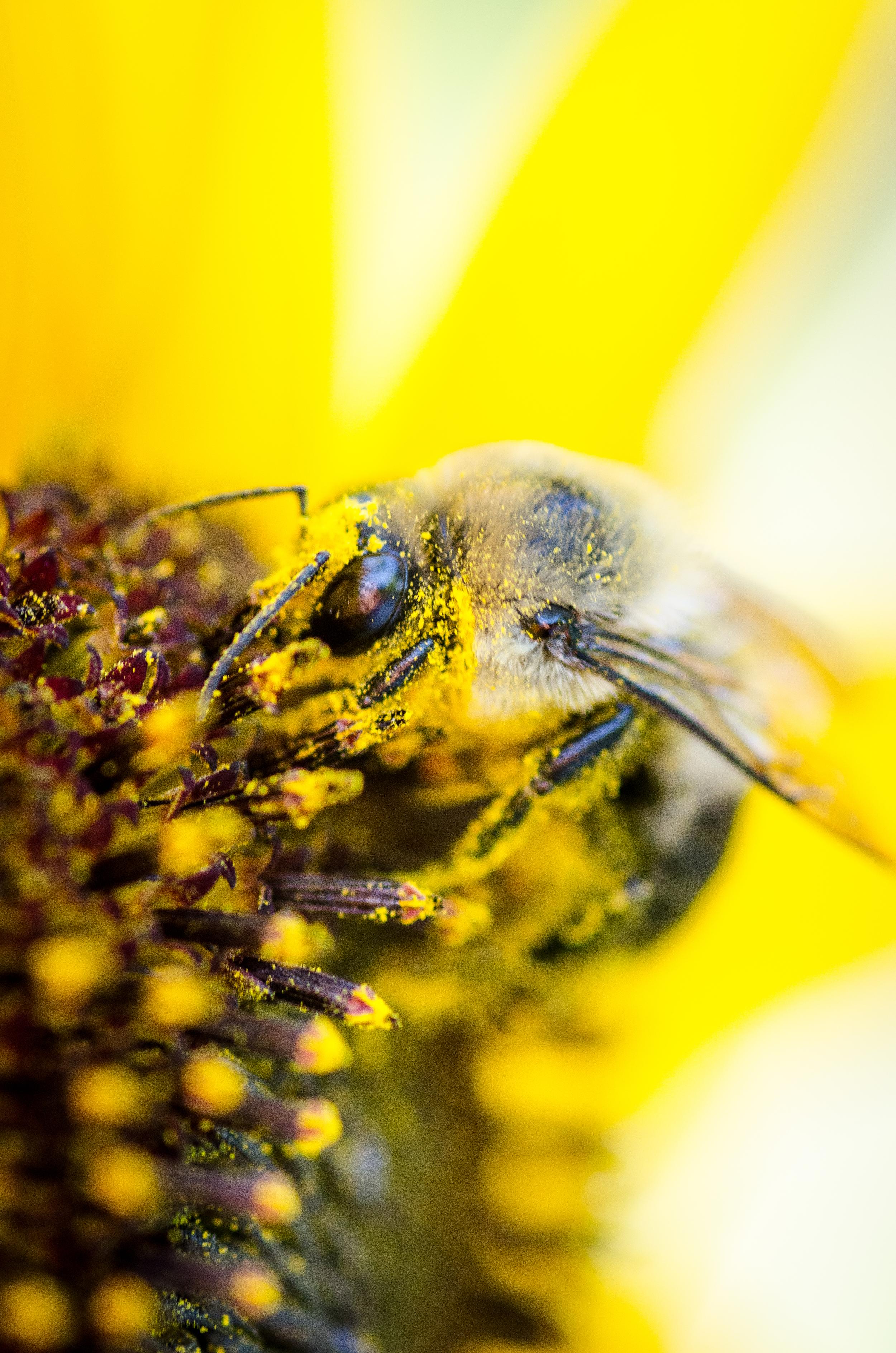 A Bee and a Sun Flower-5.jpg