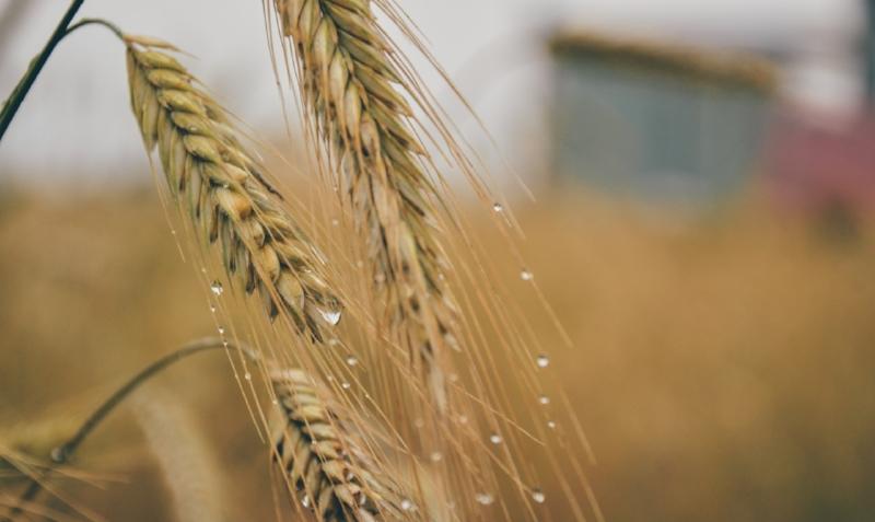 Grains.jpg