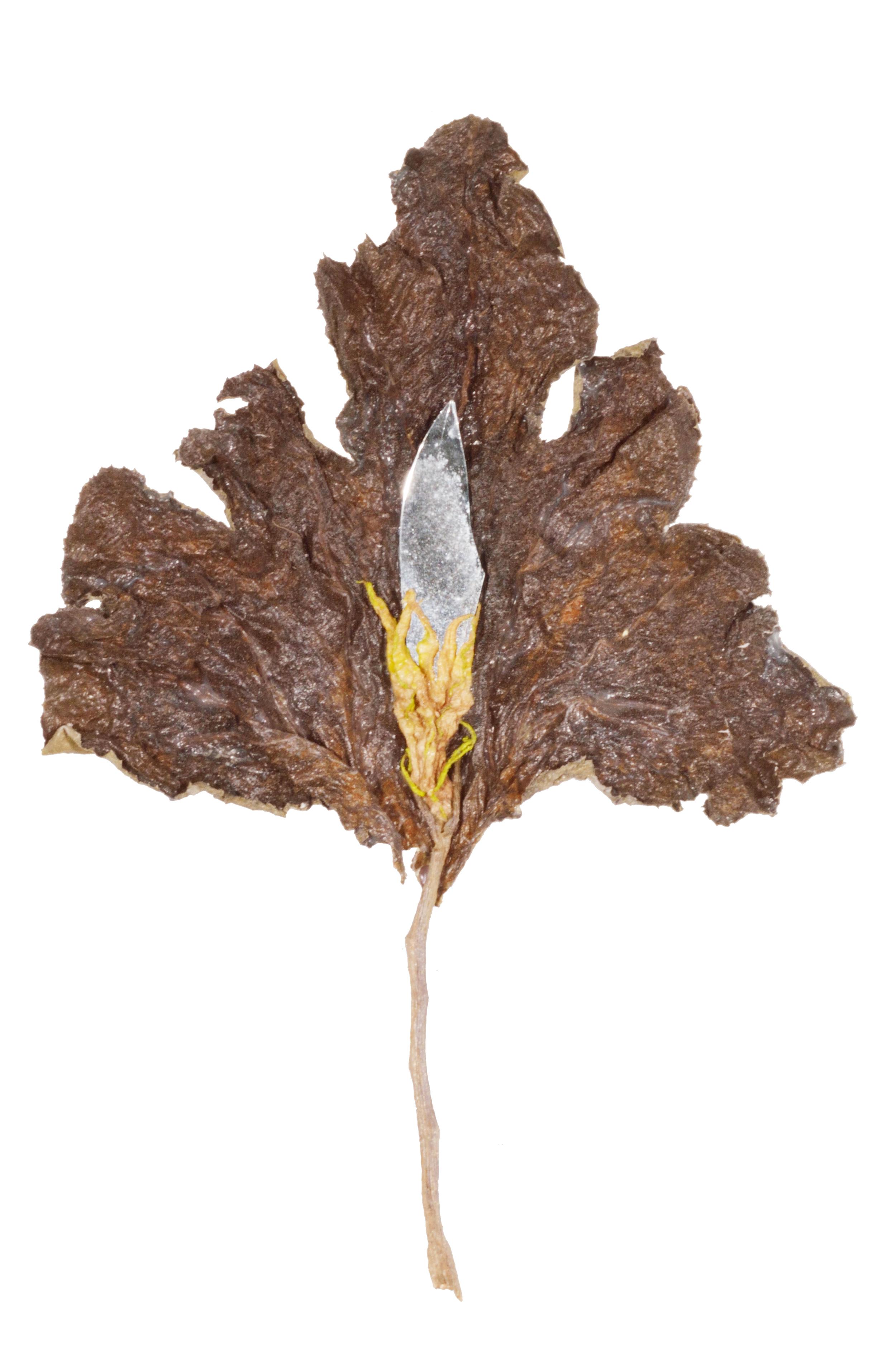 Cut Leaf 2006