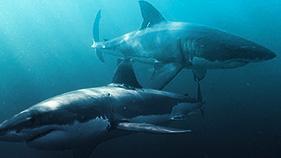 shark-research.jpg