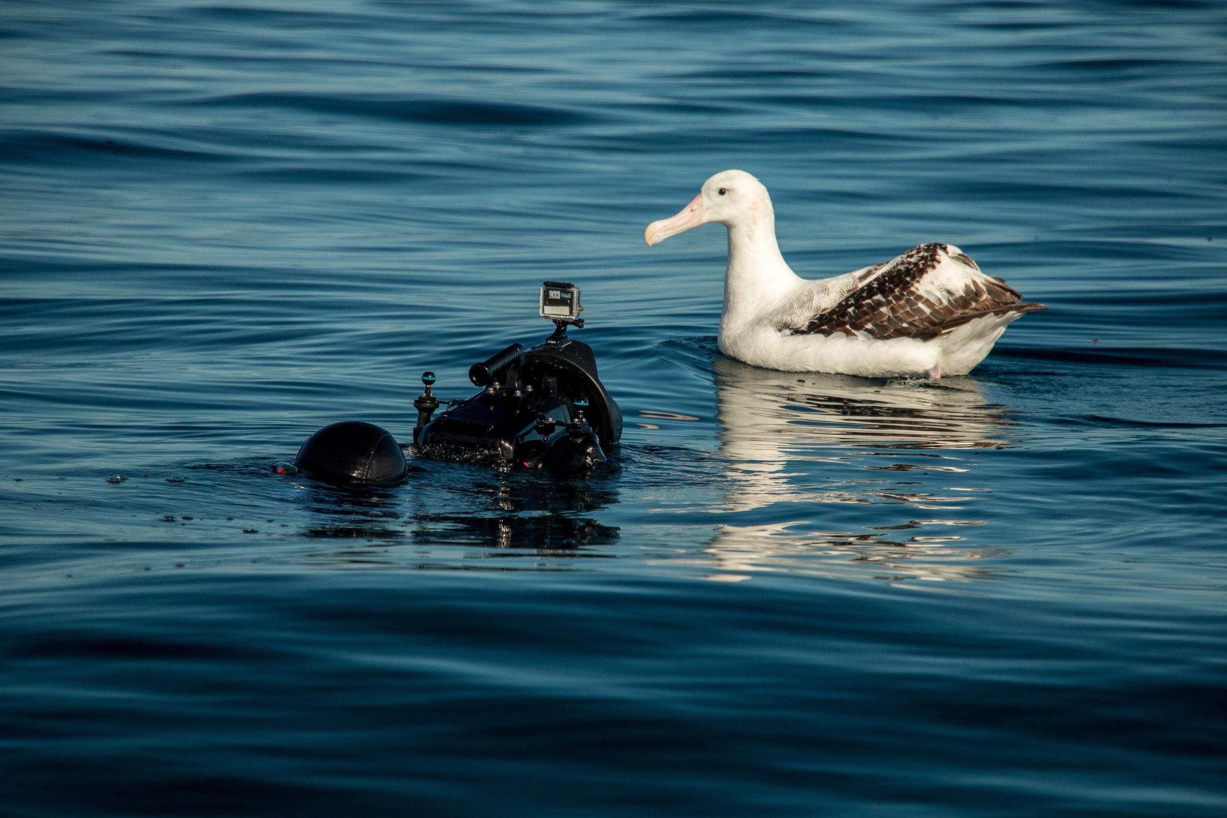 kina albatross.jpg