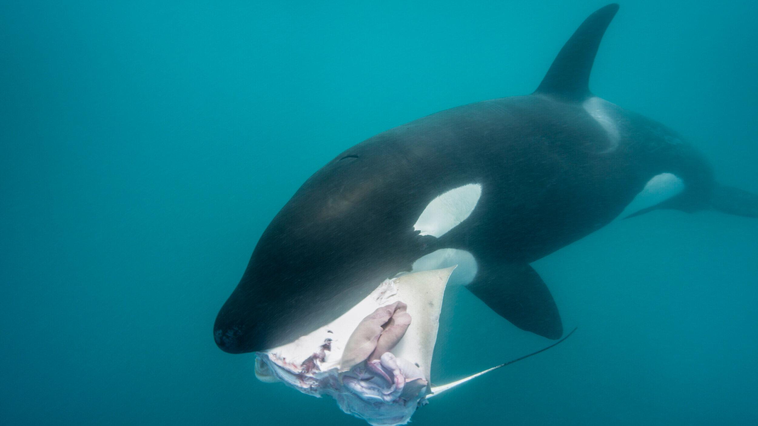 Kina Scollay Orca Hunting ©.jpg