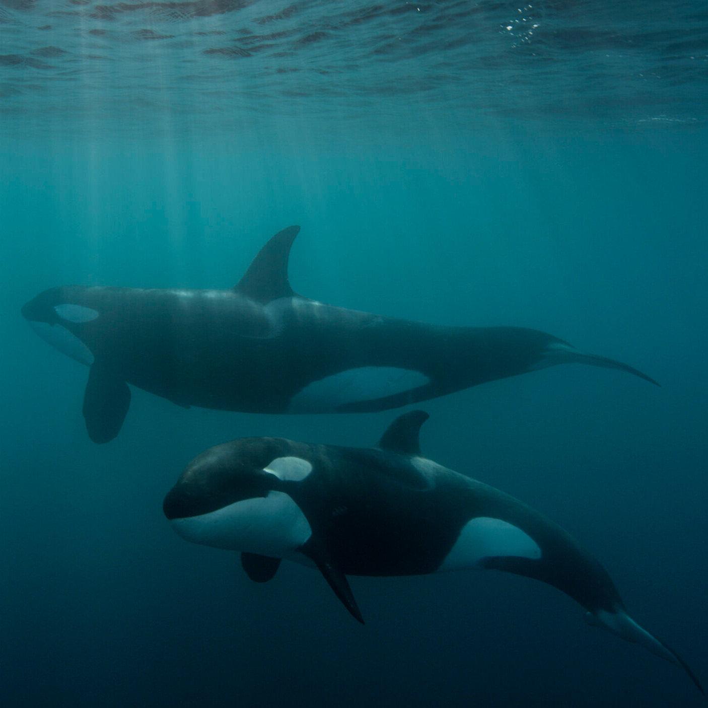 Orca09.jpg