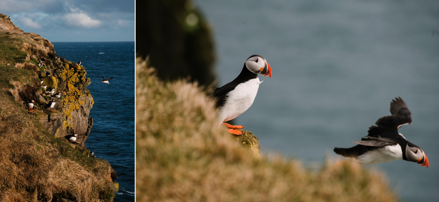 Latrabjarg Puffins - Iceland Blog Part IIPhoto by Trung Hoang Photography |www.trunghoangphotography.com | San Francisco Bay Area Wedding Photographer