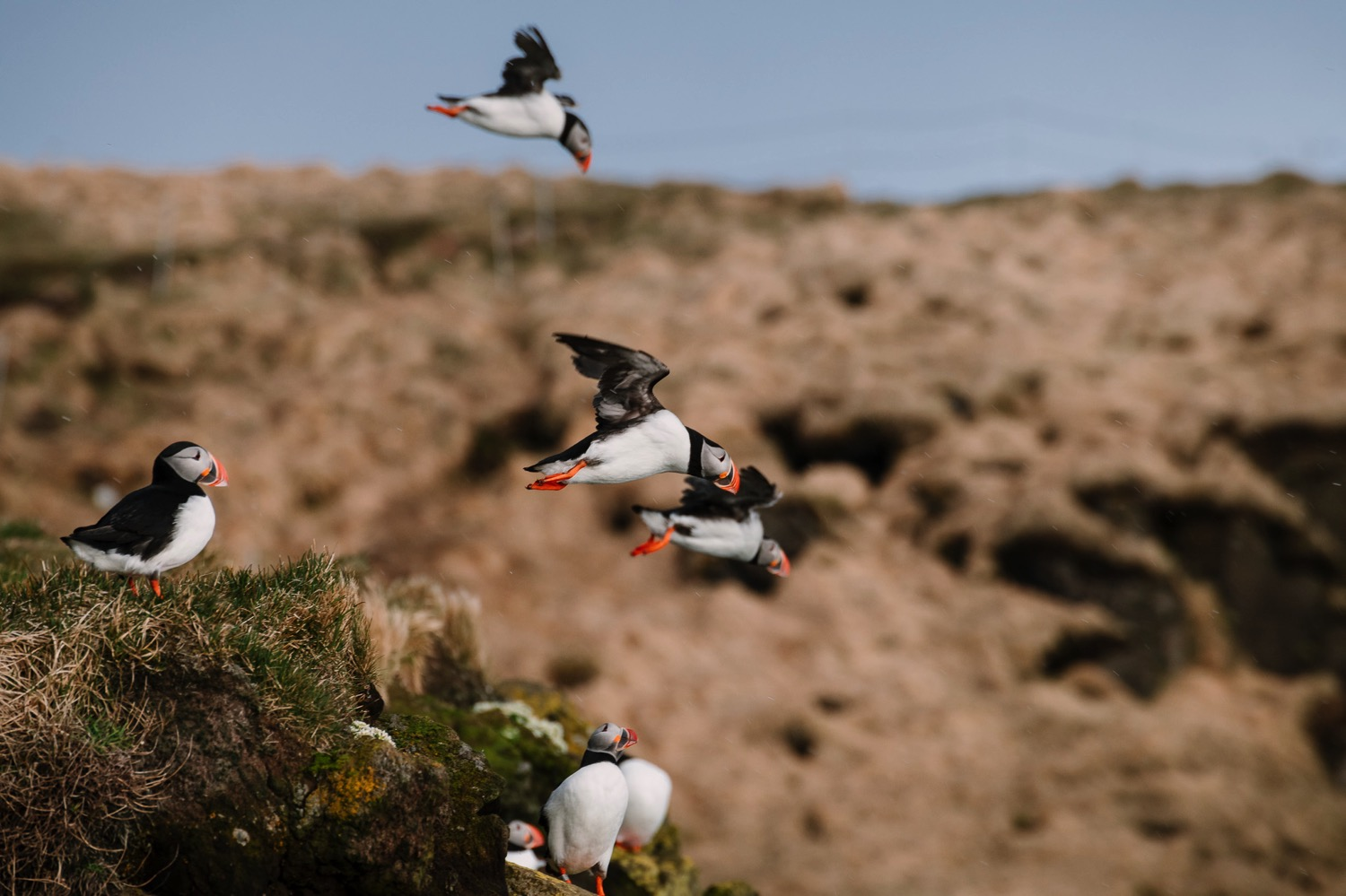Puffins in flight - Iceland Blog Part IIPhoto by Trung Hoang Photography |www.trunghoangphotography.com | San Francisco Bay Area Wedding Photographer