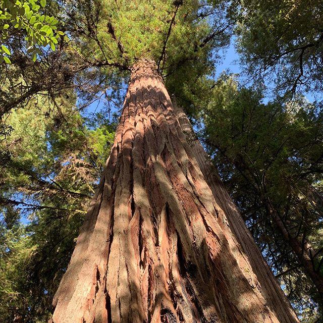 Coast redwoods, these giant beauties 🌲  #redwoods #california #cali #westcoast #adventure #hiking #nature #trees #instapic #naturephotography #photooftheday #instadaily #summer #fun