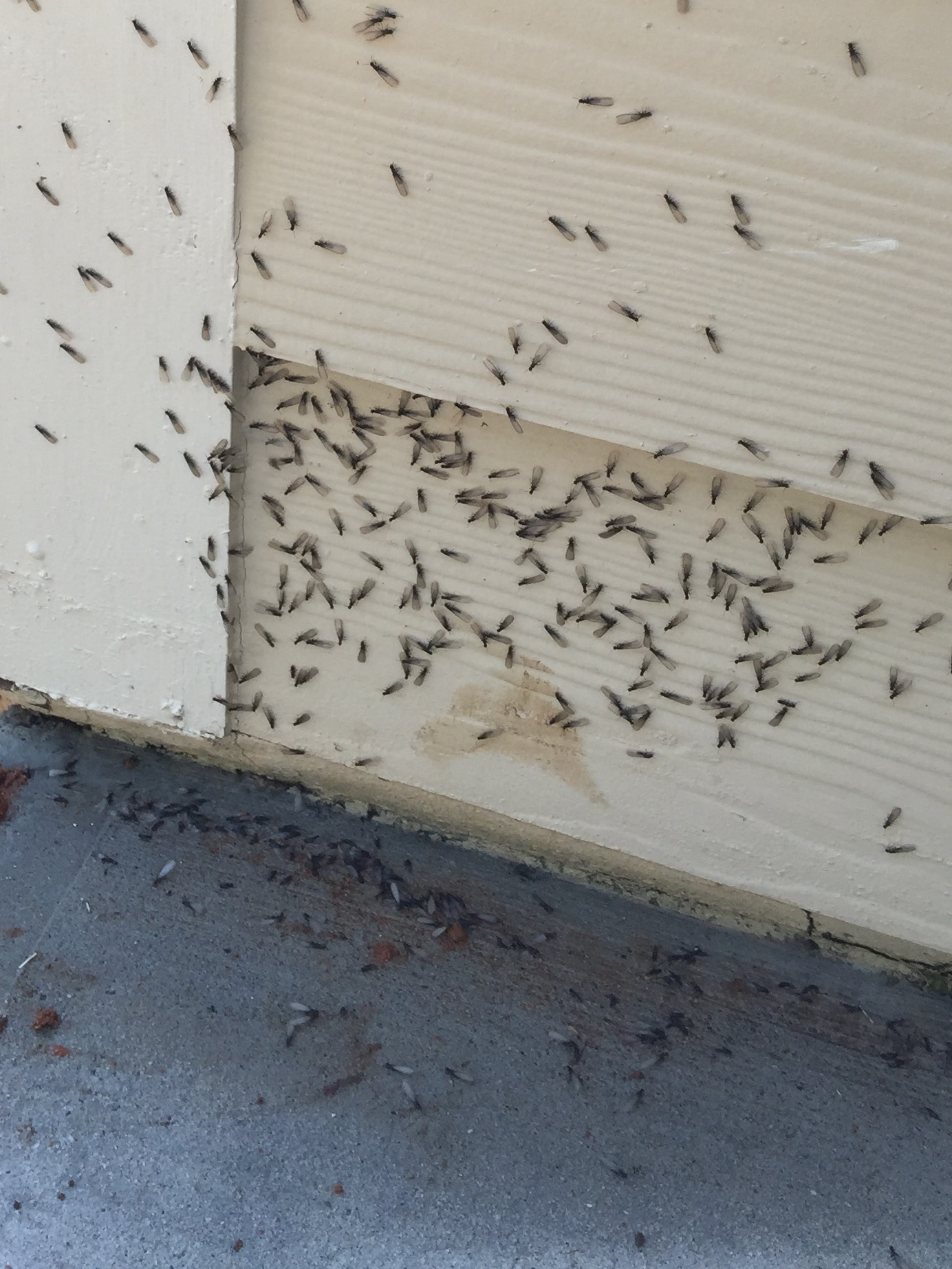 Termite Swarmers come out mainly in the Spring. There weak flyers and are attracted to light. They are out to mate and reproduce. They will shed there wings quickly.