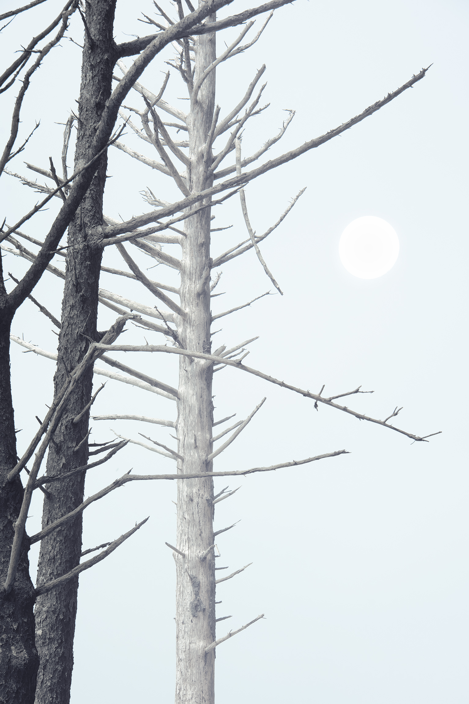 olympictreeswitmoonmultiple.jpg