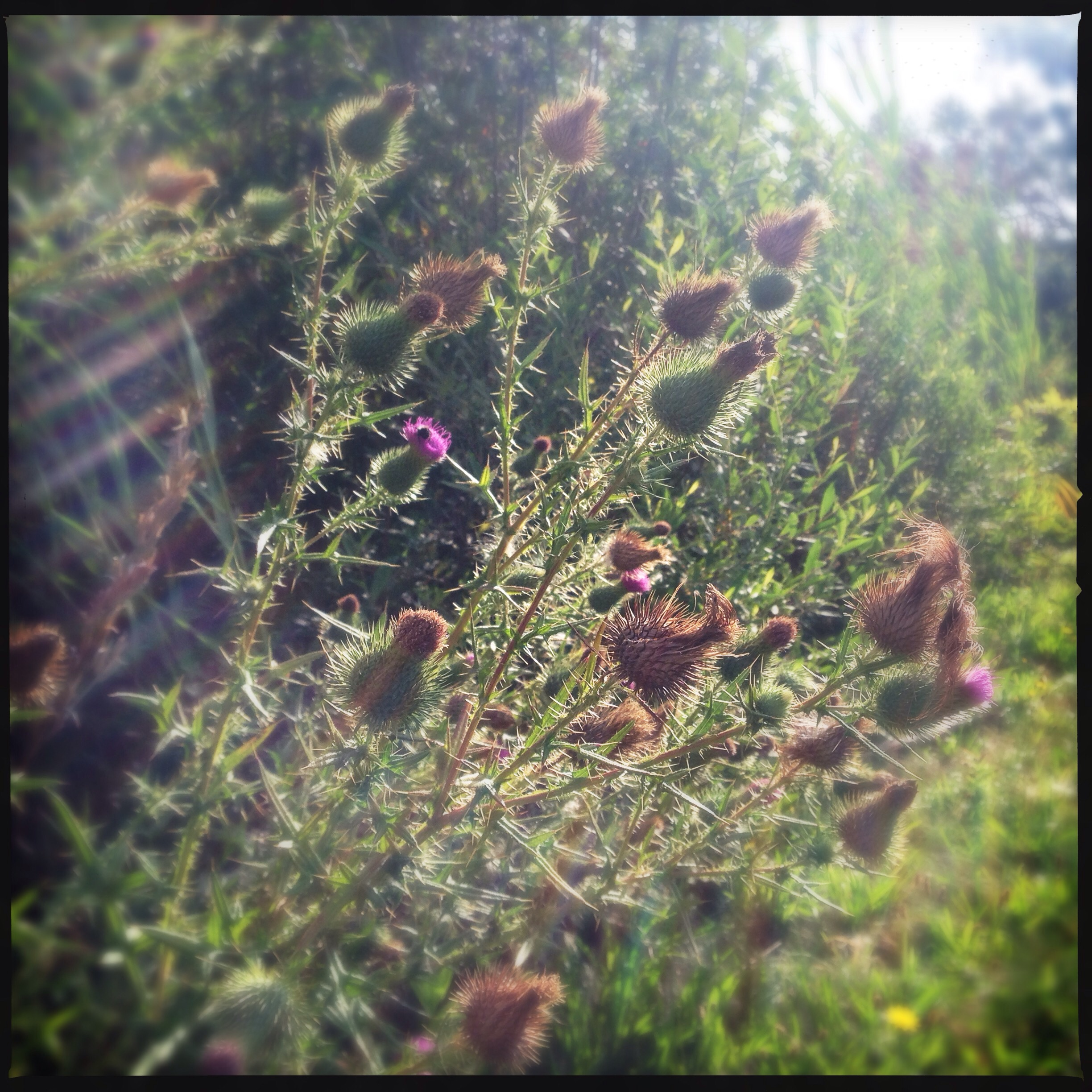 thistles in the sun