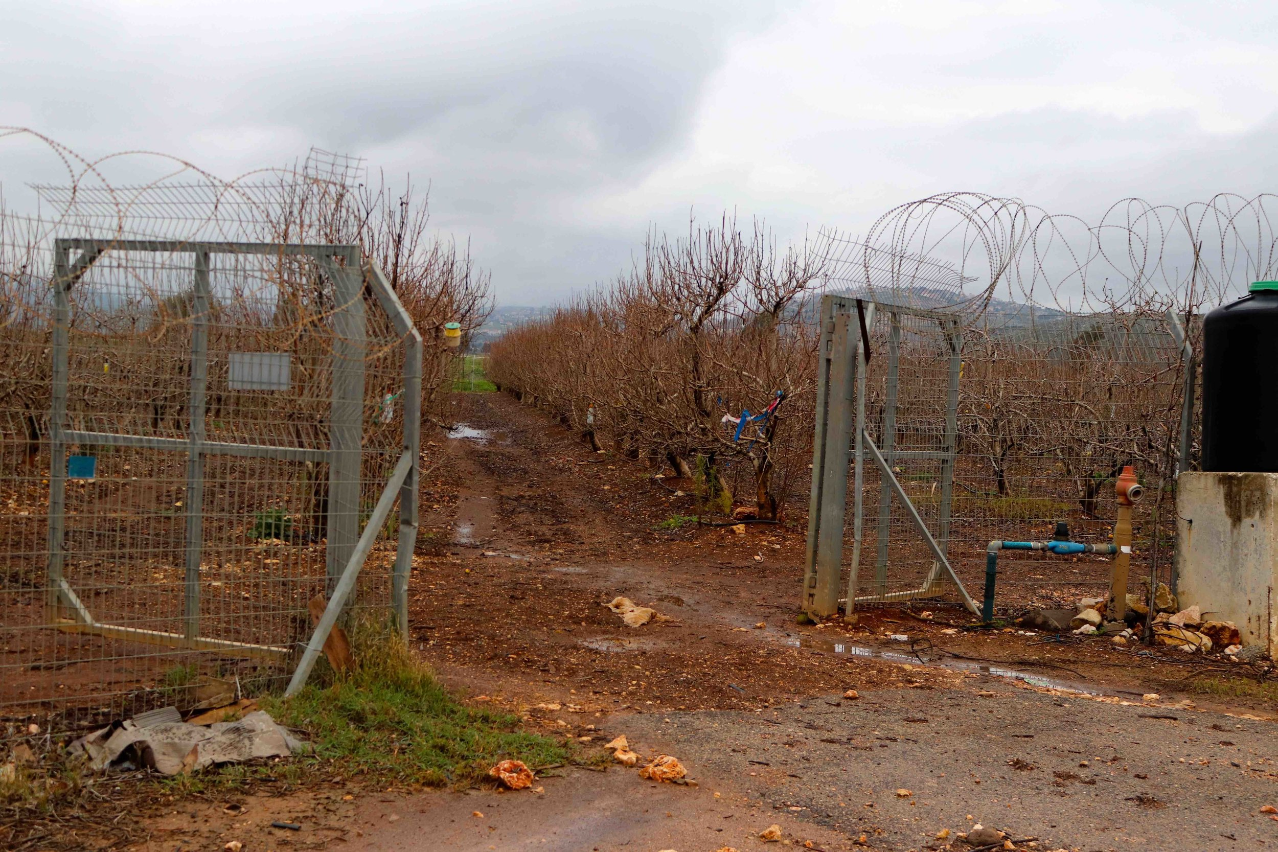 Apples are a big crop in northern Israel, just as in Central New York. These are Pink Lady trees. The security isn't about people stealing apples, it's about crossing borders.
