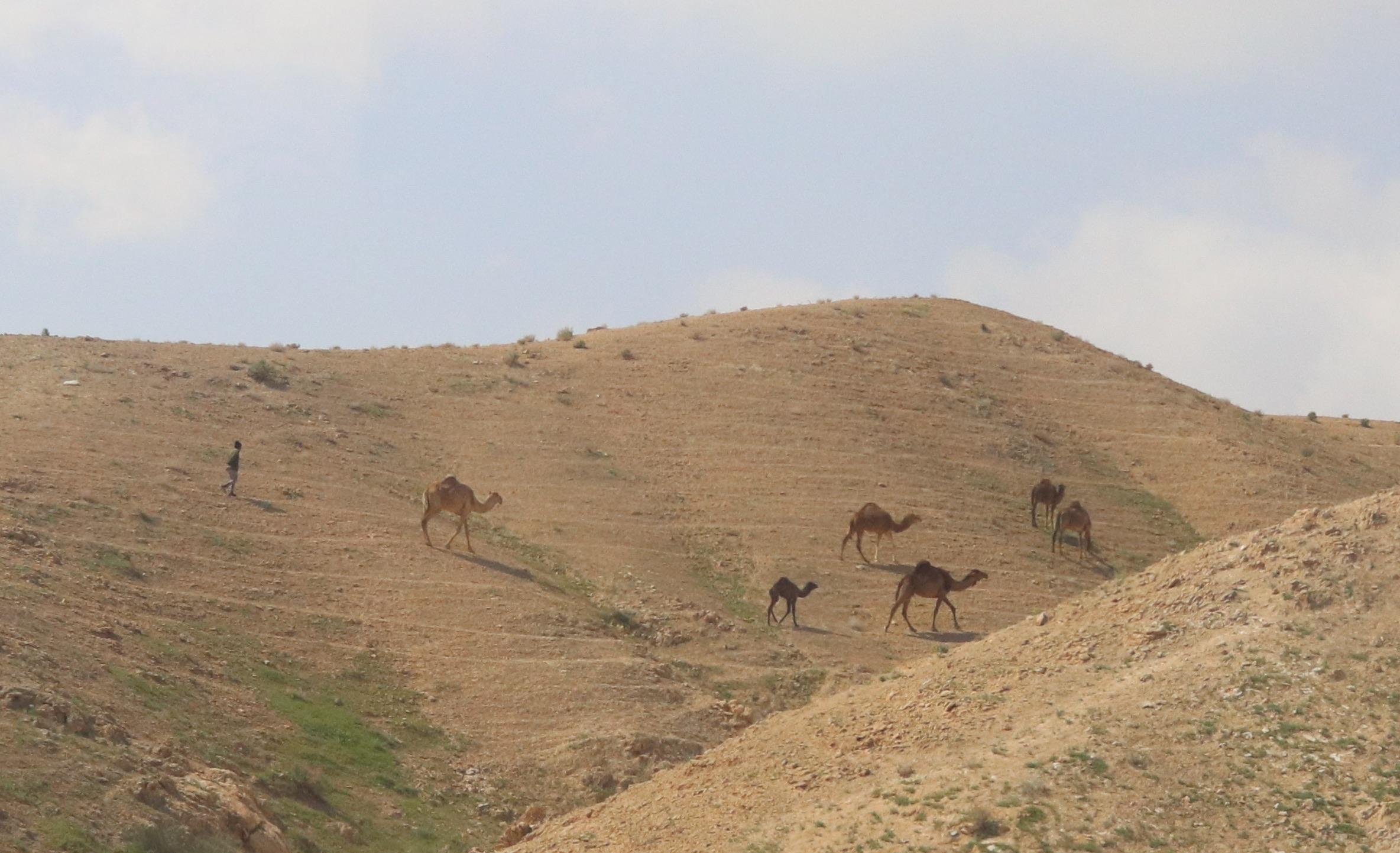 camels on hillside.jpg