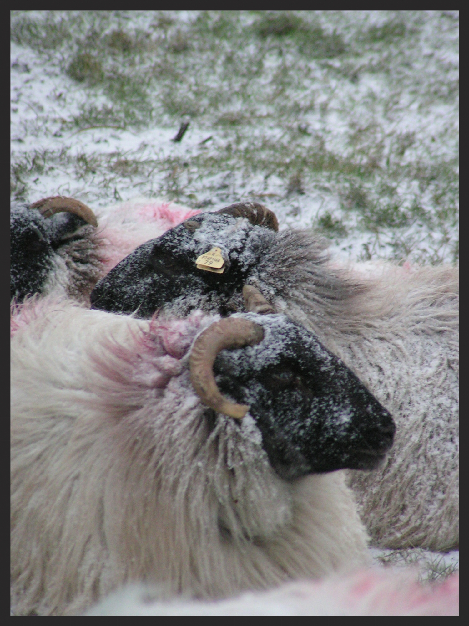MARY'S SHEEP WITH SNOW