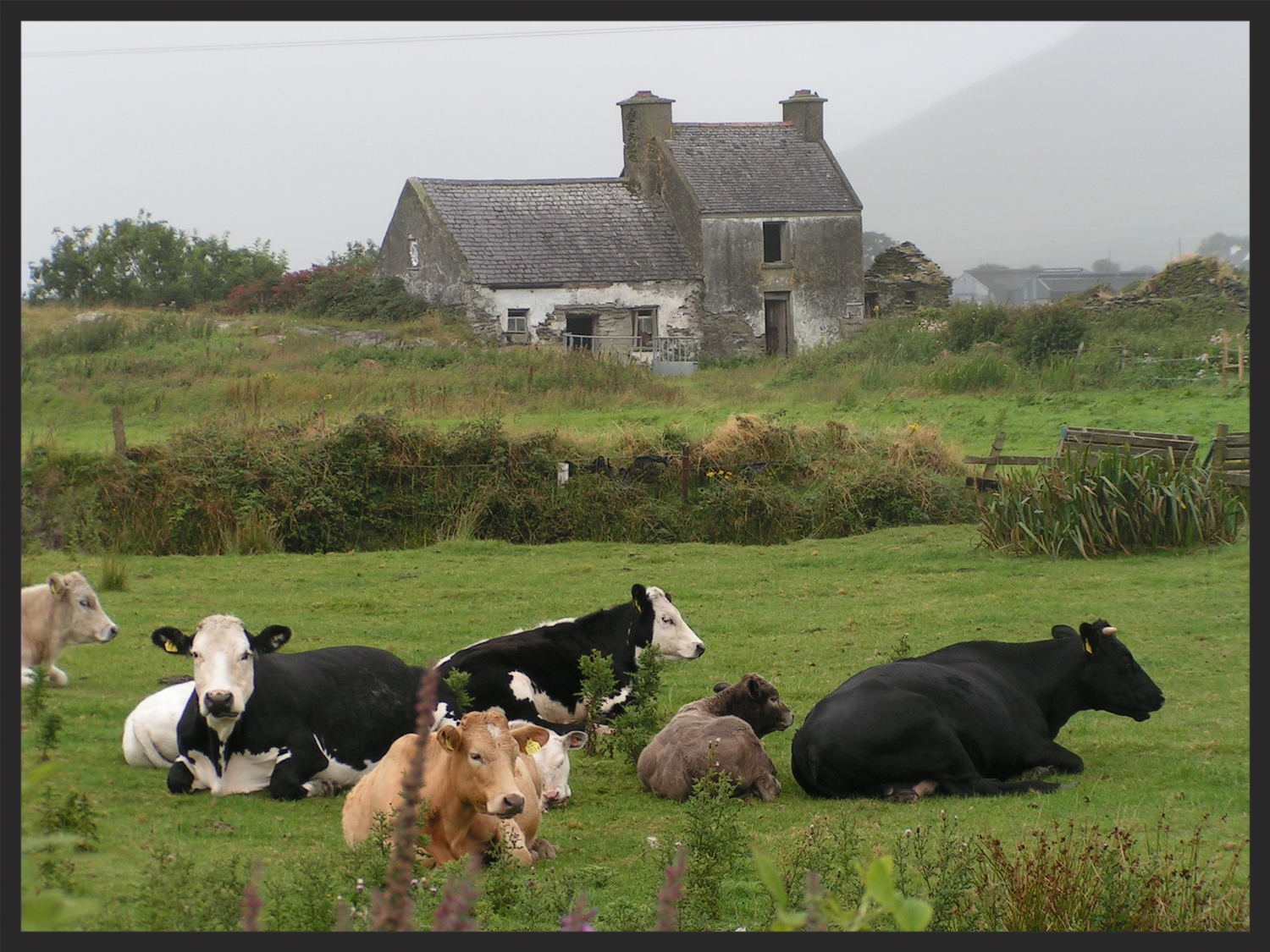 DERELICT WITH COWS