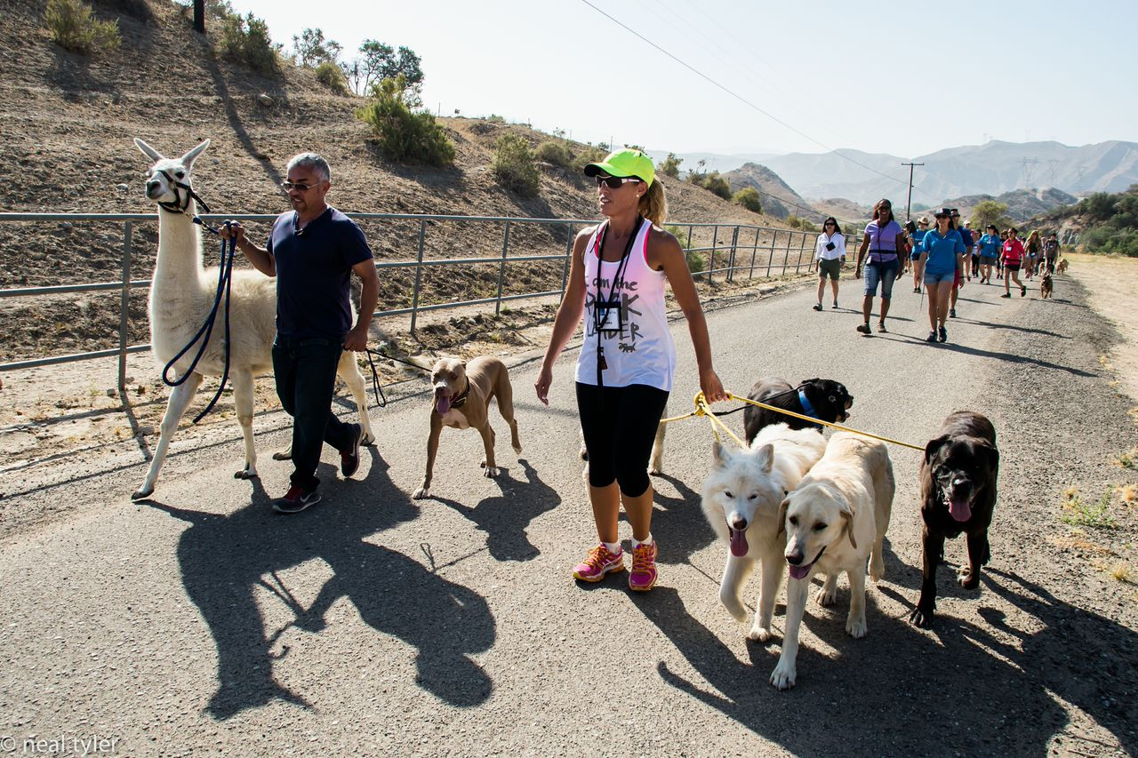 Walking the pack with a Lama