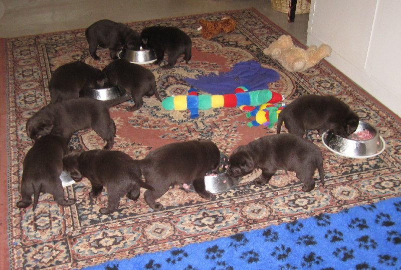 puppies 4wks eating.jpg
