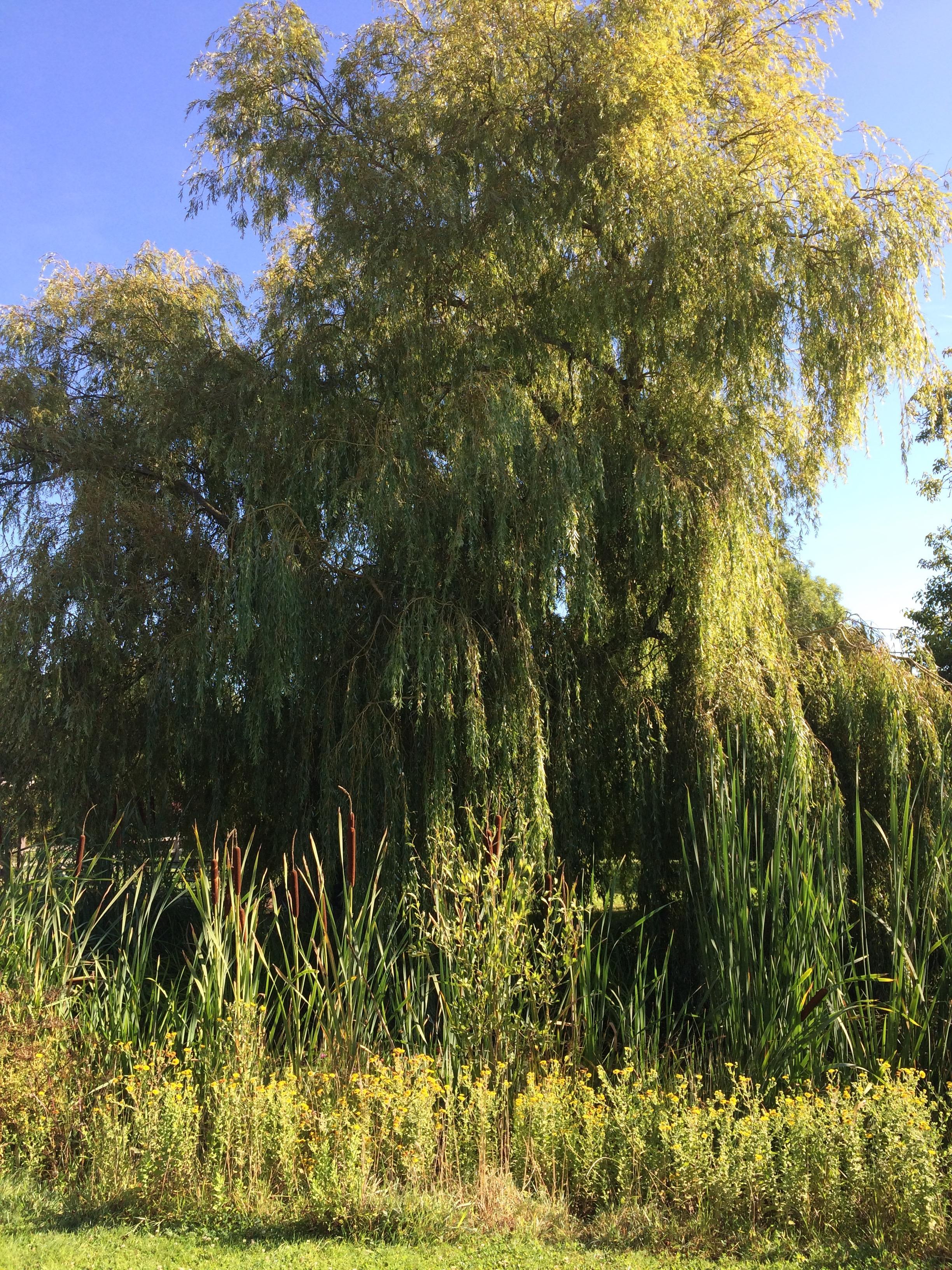 Weeping willow.jpg