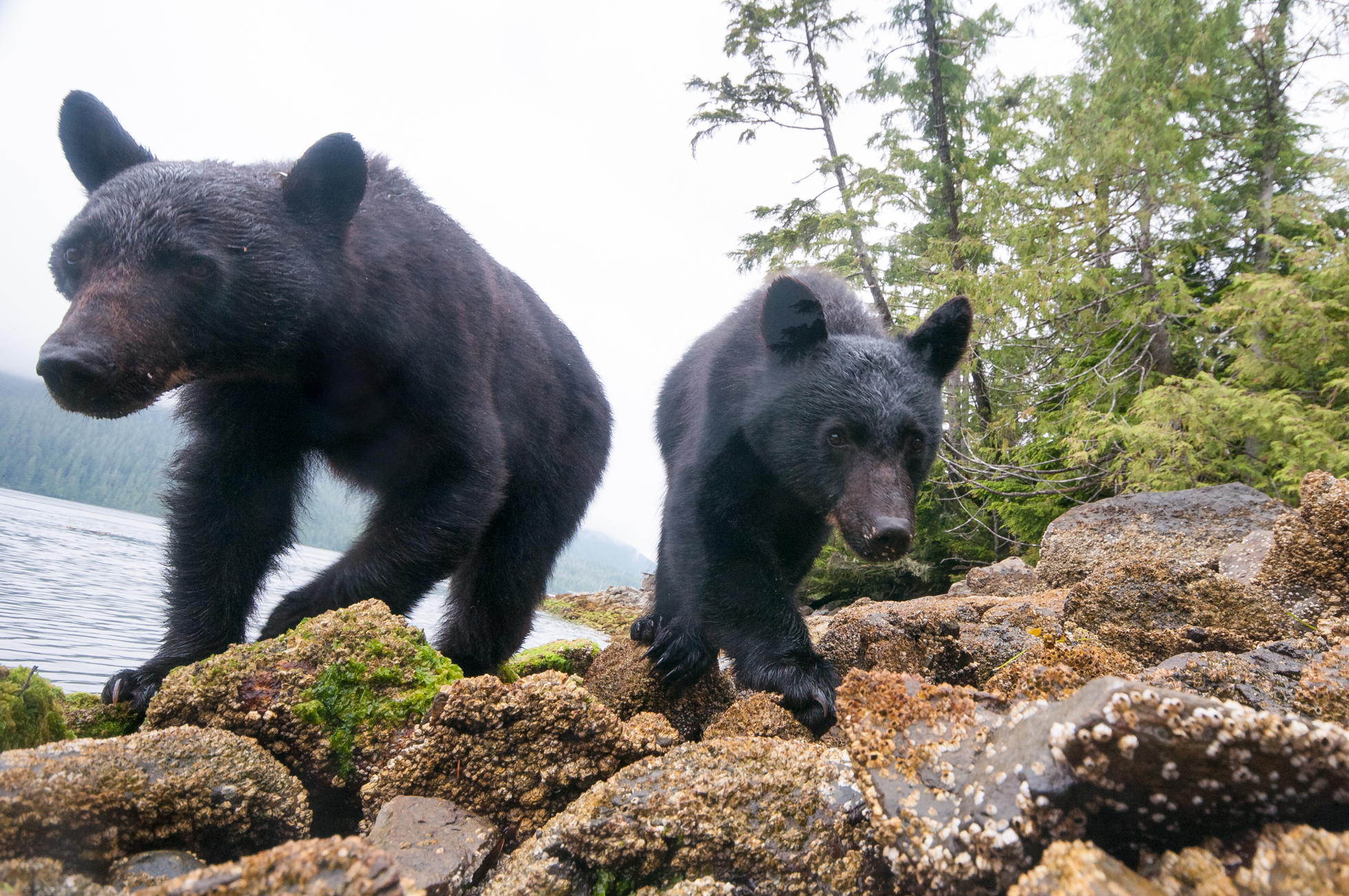 A female black bear and her 18-month-old cub investigate a remote controlled camera on the rocky shoreline.