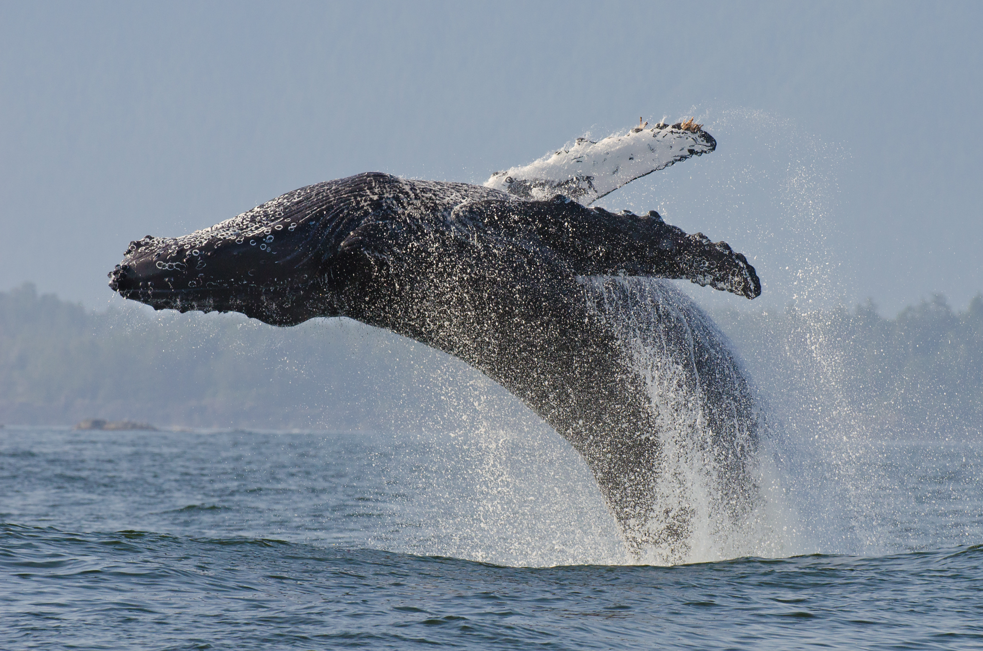 A 16m adult humpback whale breaches out of the water.