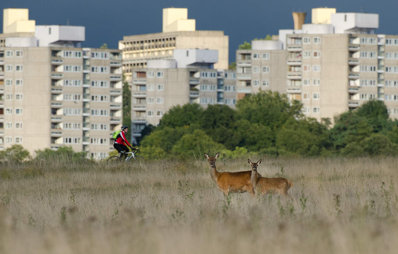 Red deer in Richmond park, London.