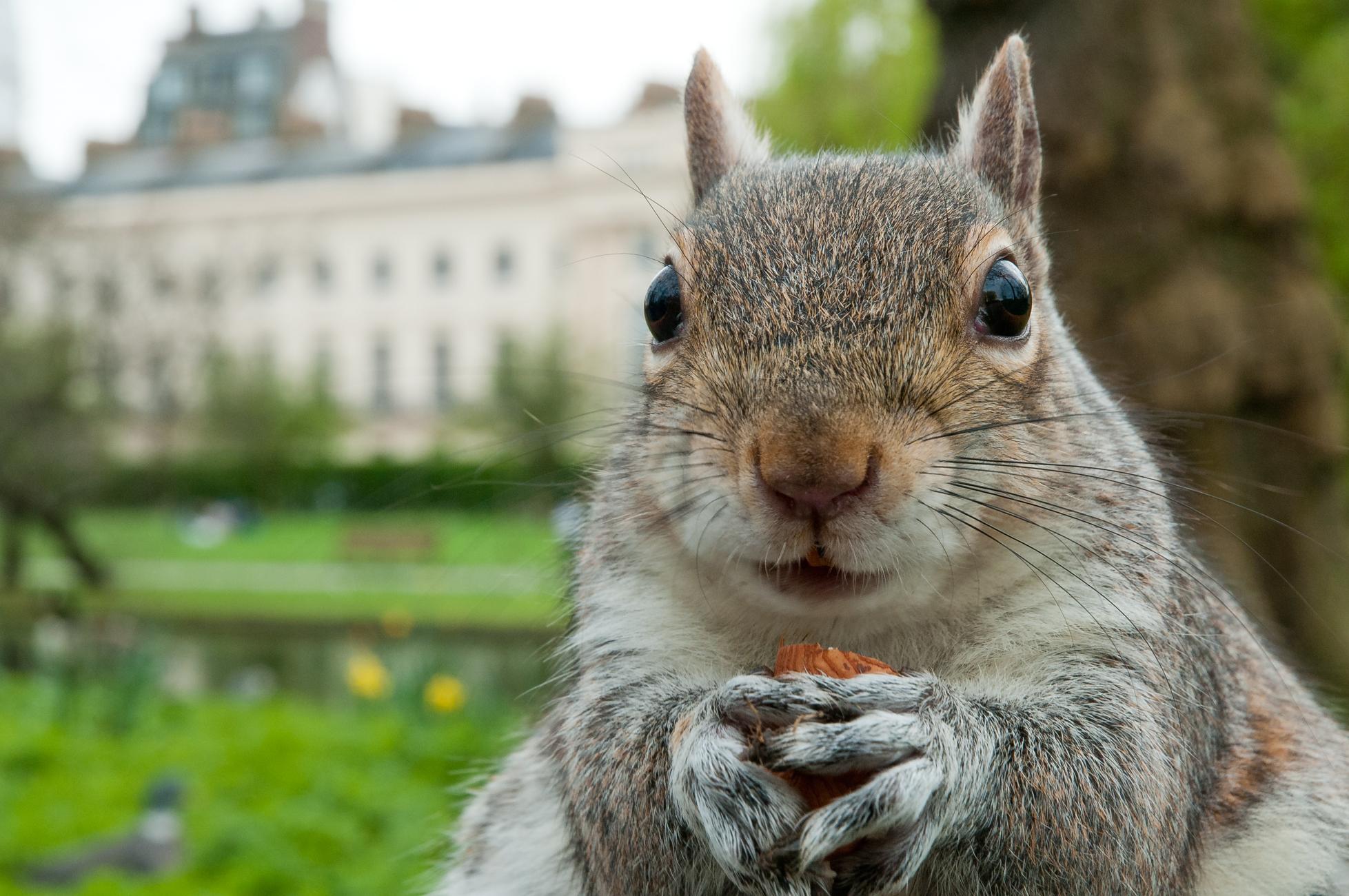 A grey squirrel feeding in a London park.
