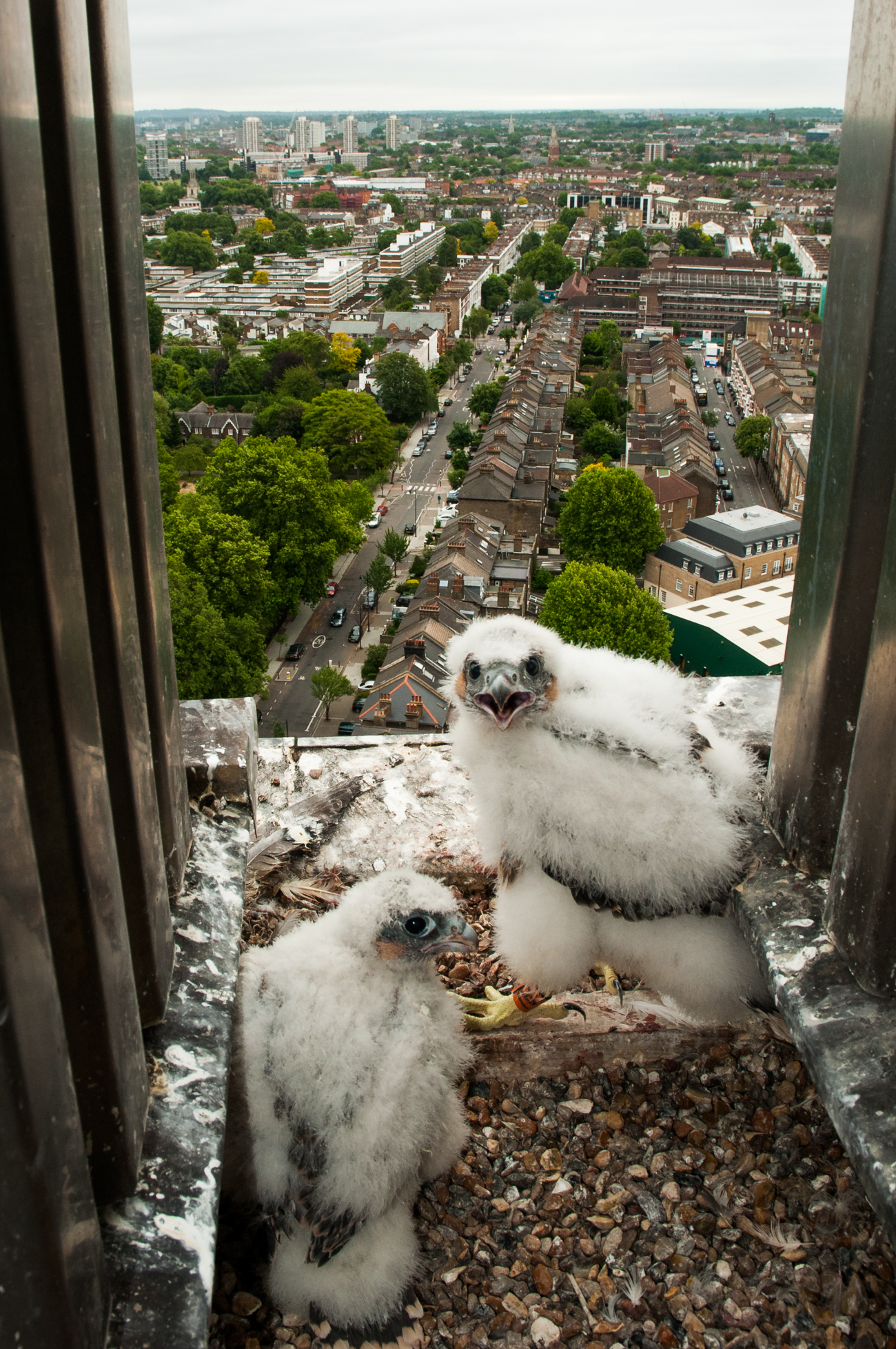 Peregrine falcon chicks in a nest 25-stories up a concrete tower block in central London.