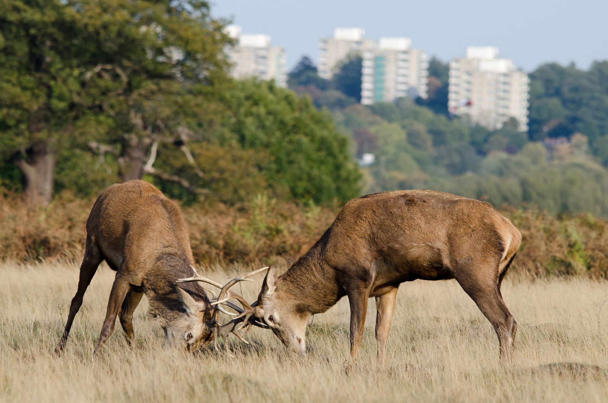 Male red deer rutting in central London.