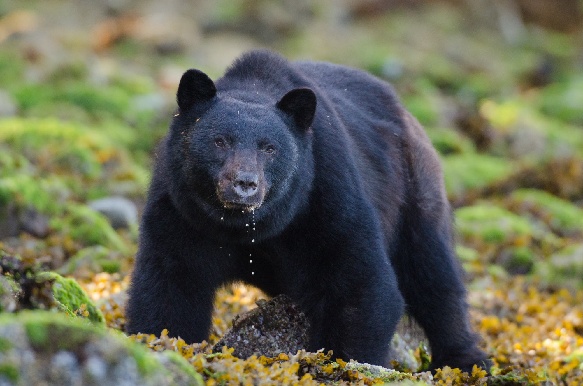 An adult male black bear roles rocks in search of a crab breakfast.