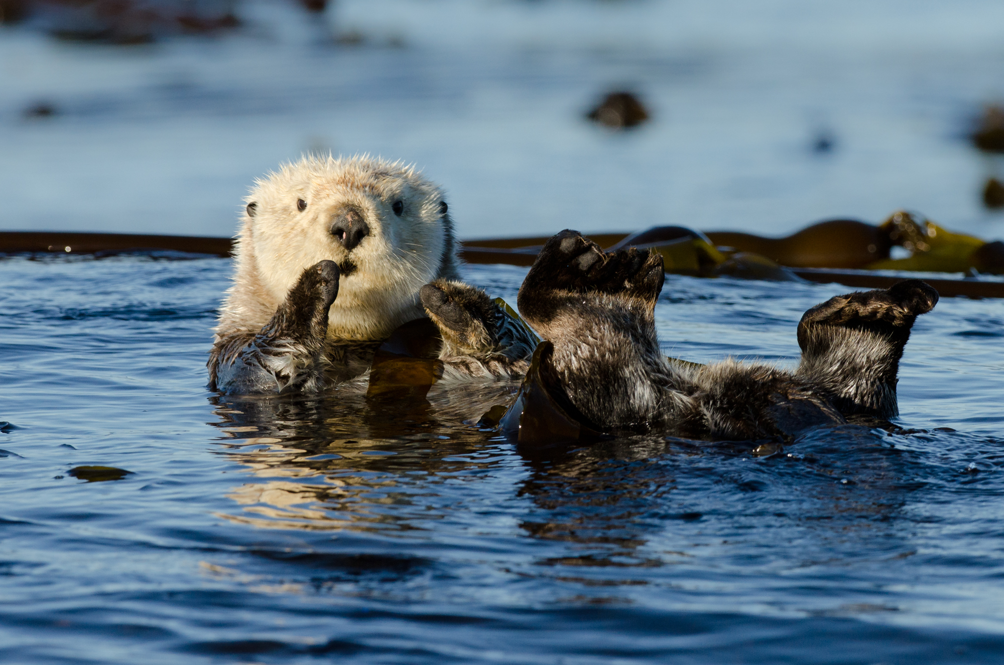 A sea otter wound up in kelp to prevent it drifting away as it sleeps.