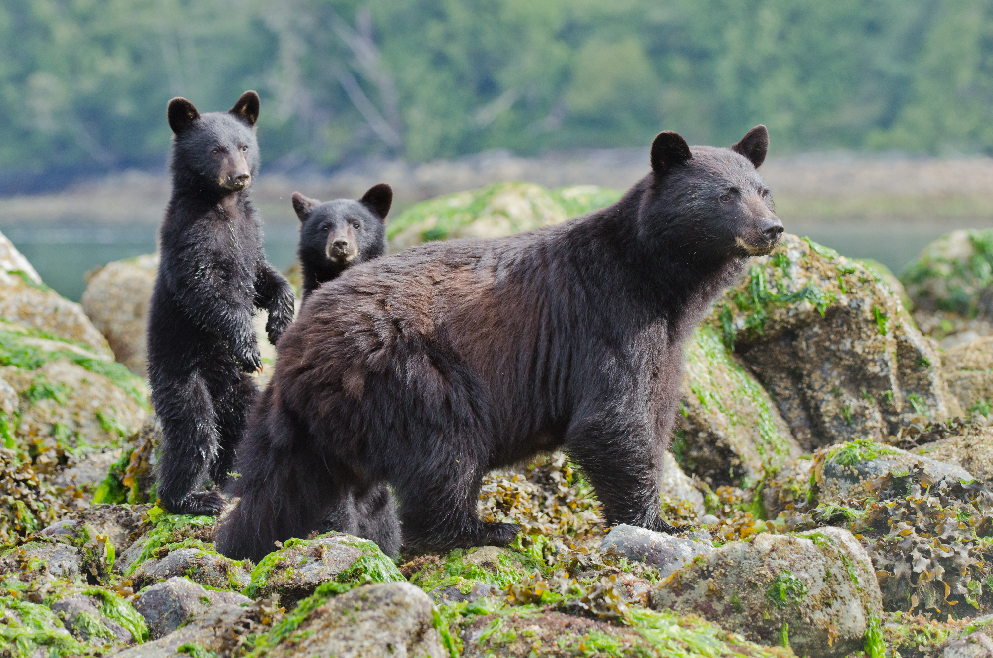 A female black bear and her two cubs spot danger on the rocky shore.