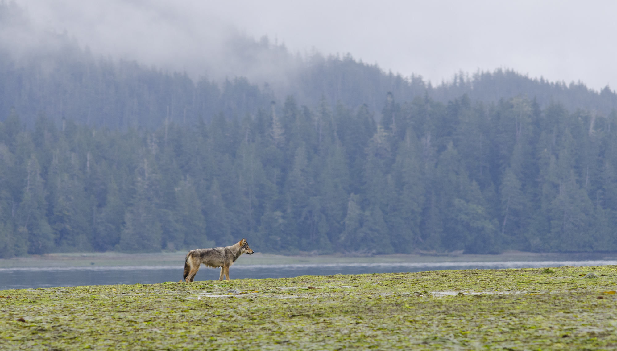 A coastal grey wolf patrols her territory at low tide.