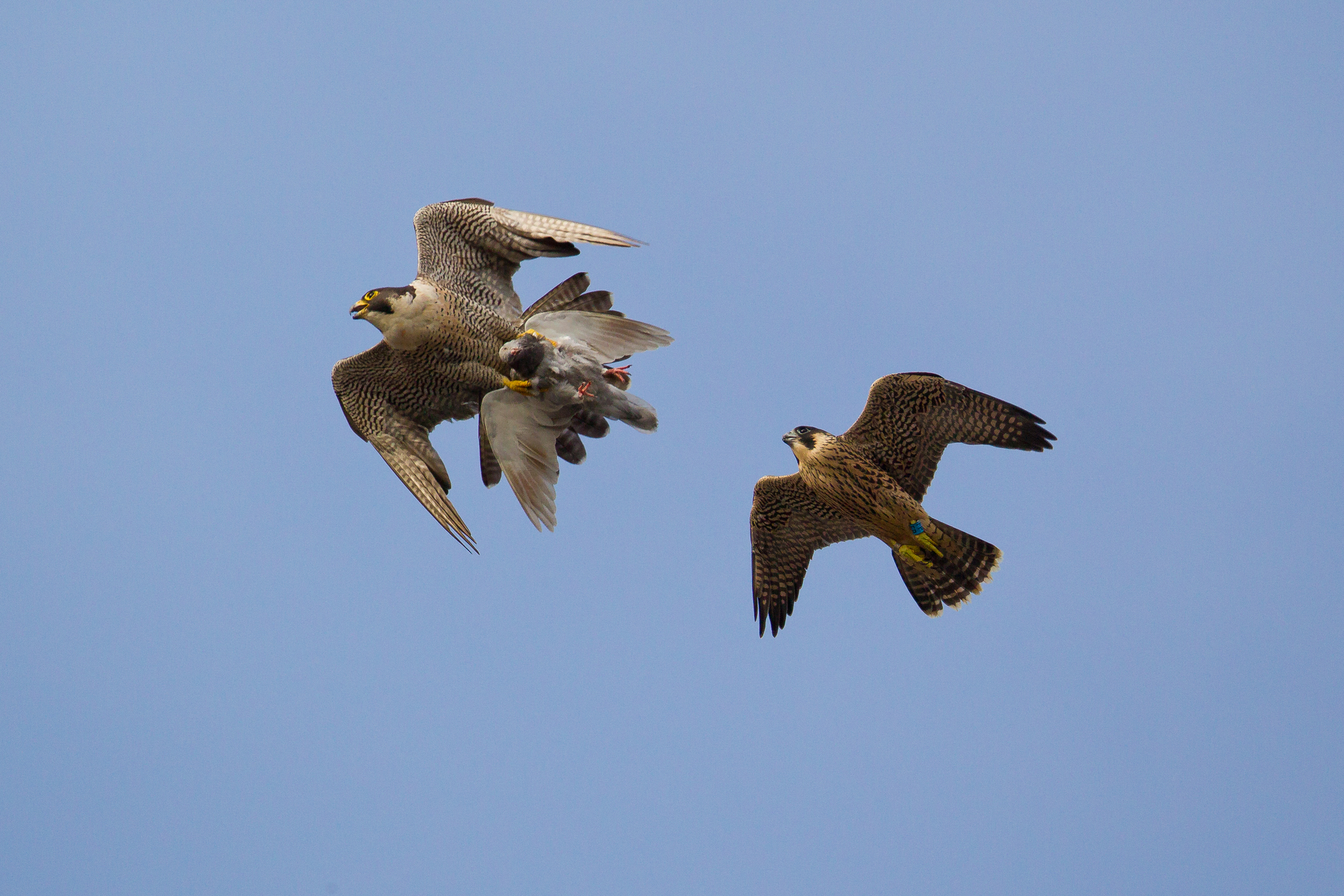 A juvenile male peregrine falcon chasing his parent with a kill over central Bristol.