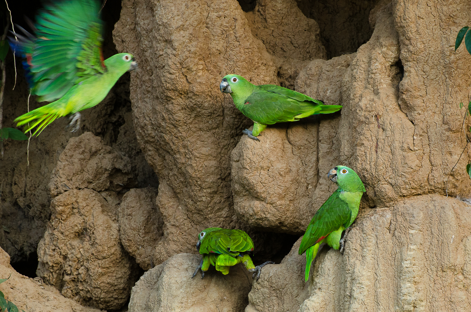 Yellow crowned parrots visiting a claylick at first light.