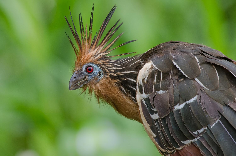 A hoatzin or stink bird.