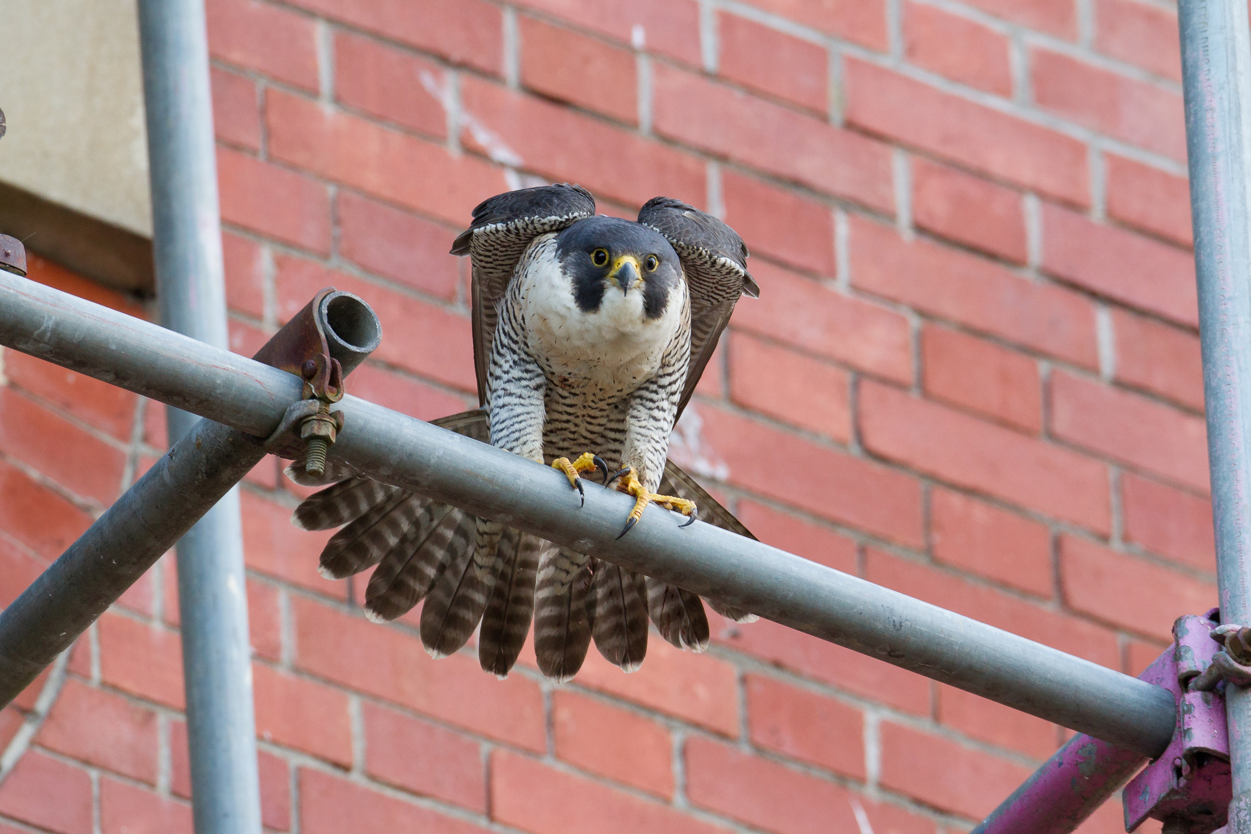 An adult female peregrine falcon stretching her wings whilst perched on scaffolding.