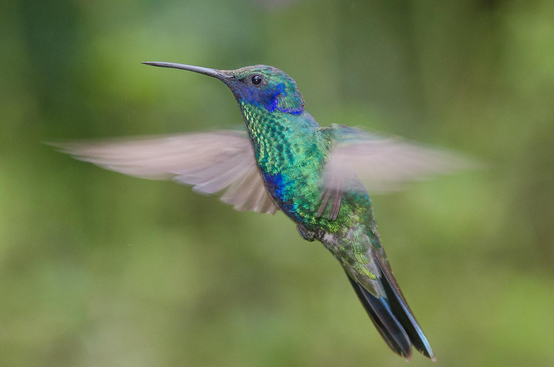 A sparkling violet-ear hummingbird.