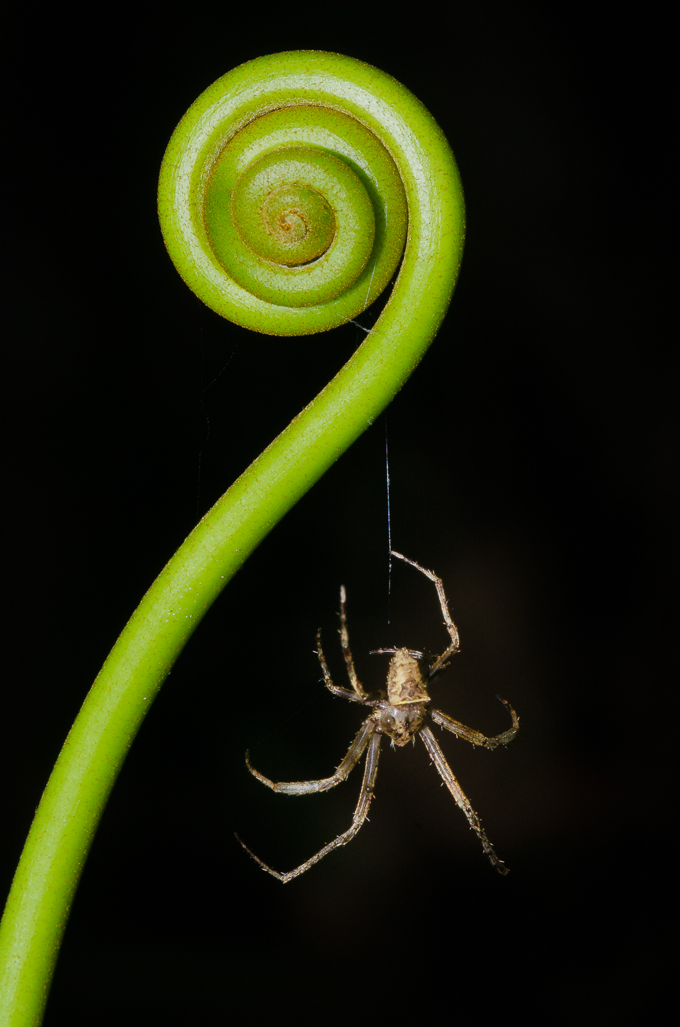 A spider rapelling from an uncoiled fern.