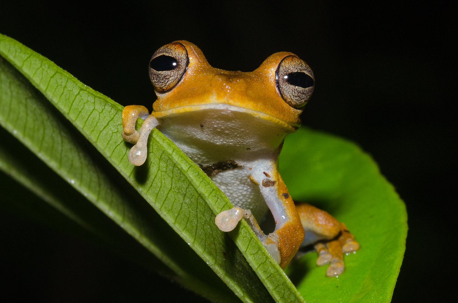 One of the many charismatic frog species, Hypsiboas calcarata.