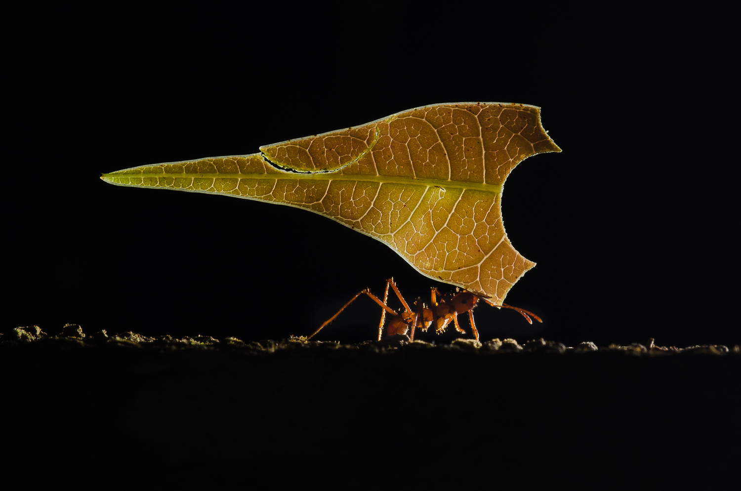Leaf cutter ants are capable of carrying leaves may times their own body weight. They cut the leaves and bring them back to their nests to cultivate a fungi.