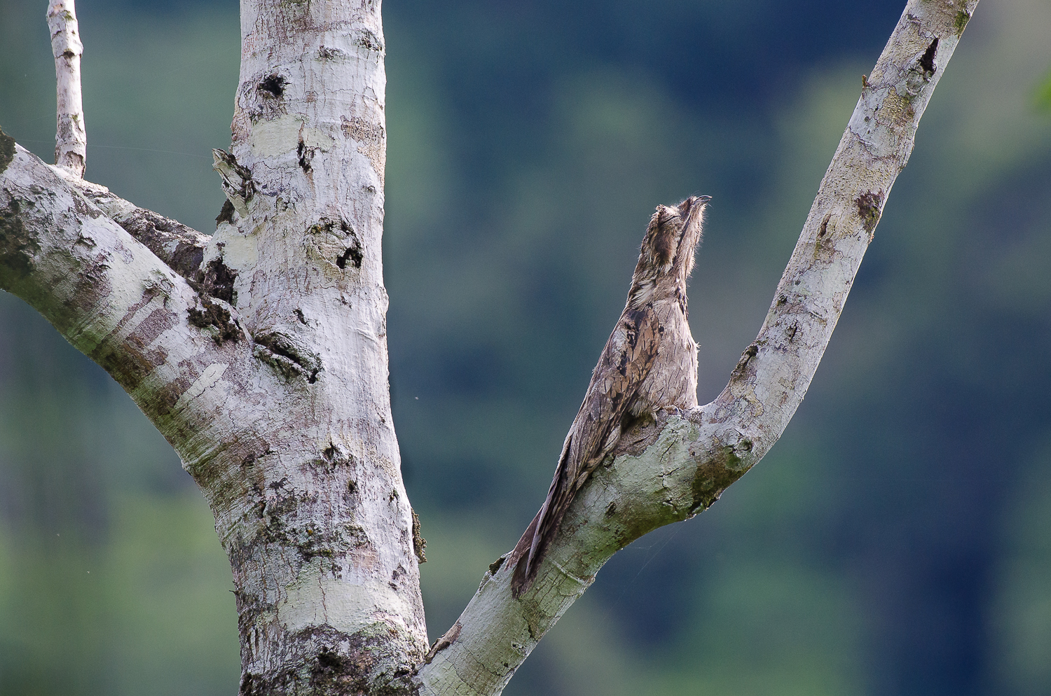 A potoo, the king of camouflage, exhibiting its classic pencilling behaviour. An individual will often return to rest on a specific branch everyday for many years.