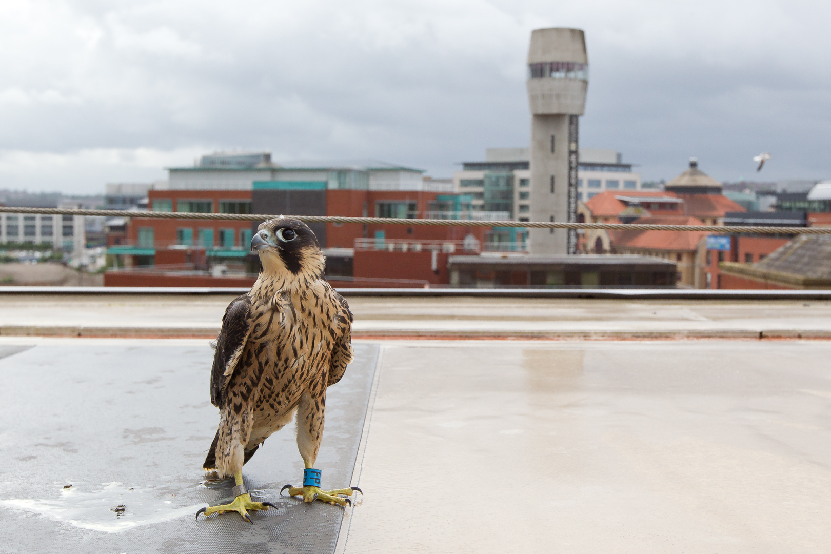 A juvenile peregrine falcon preparing to fly following a near drowning experience.