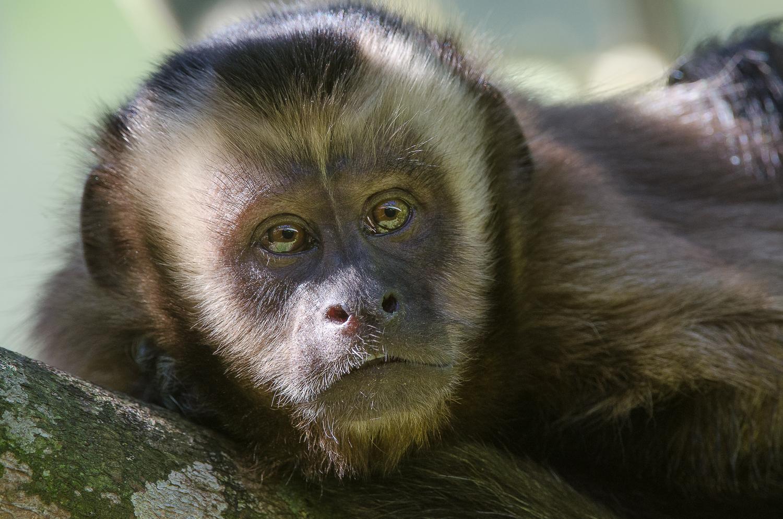 A big-headed capuchin monkey.