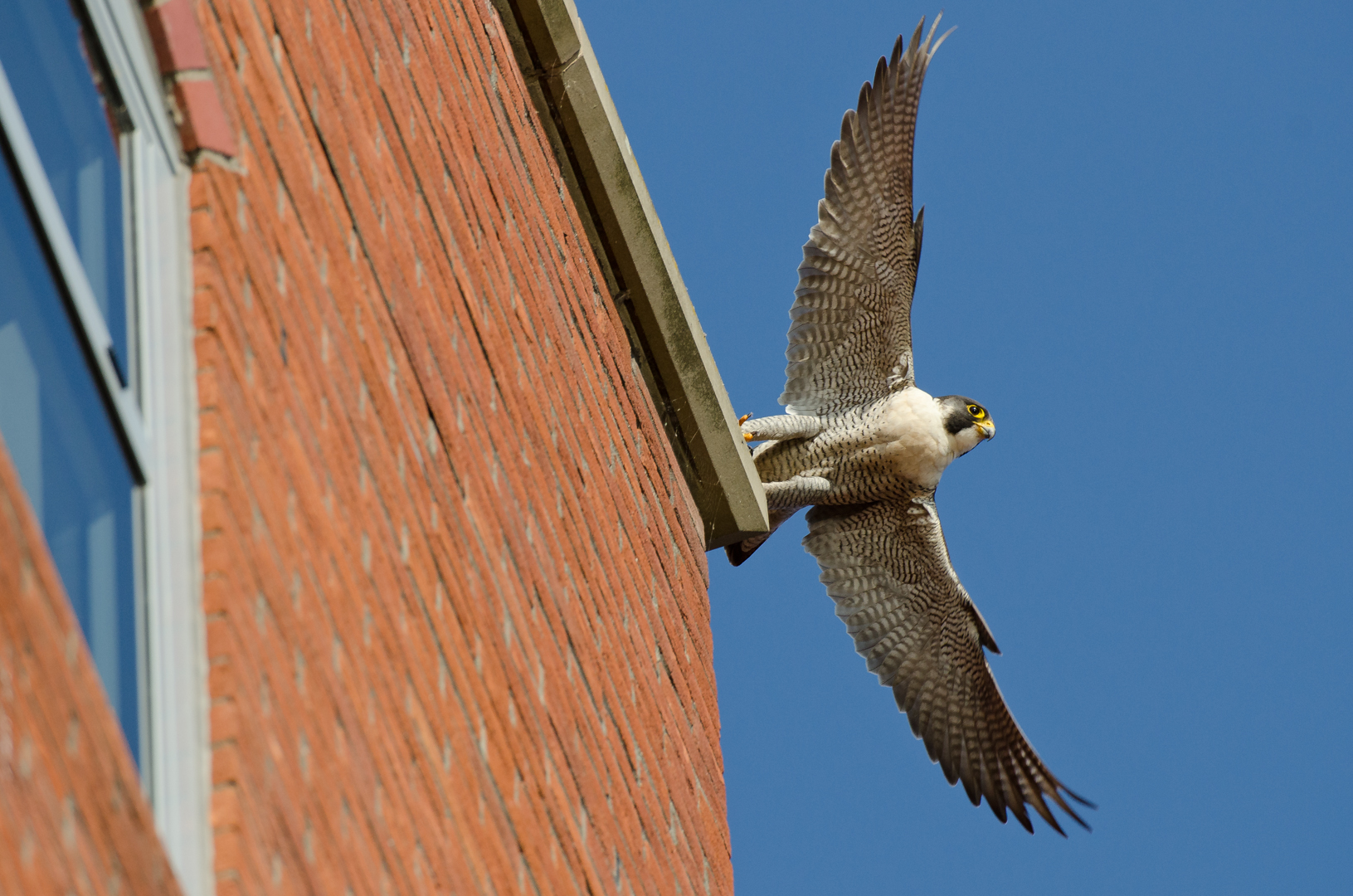 An adult female peregrine falcon takes flight over Bristol.