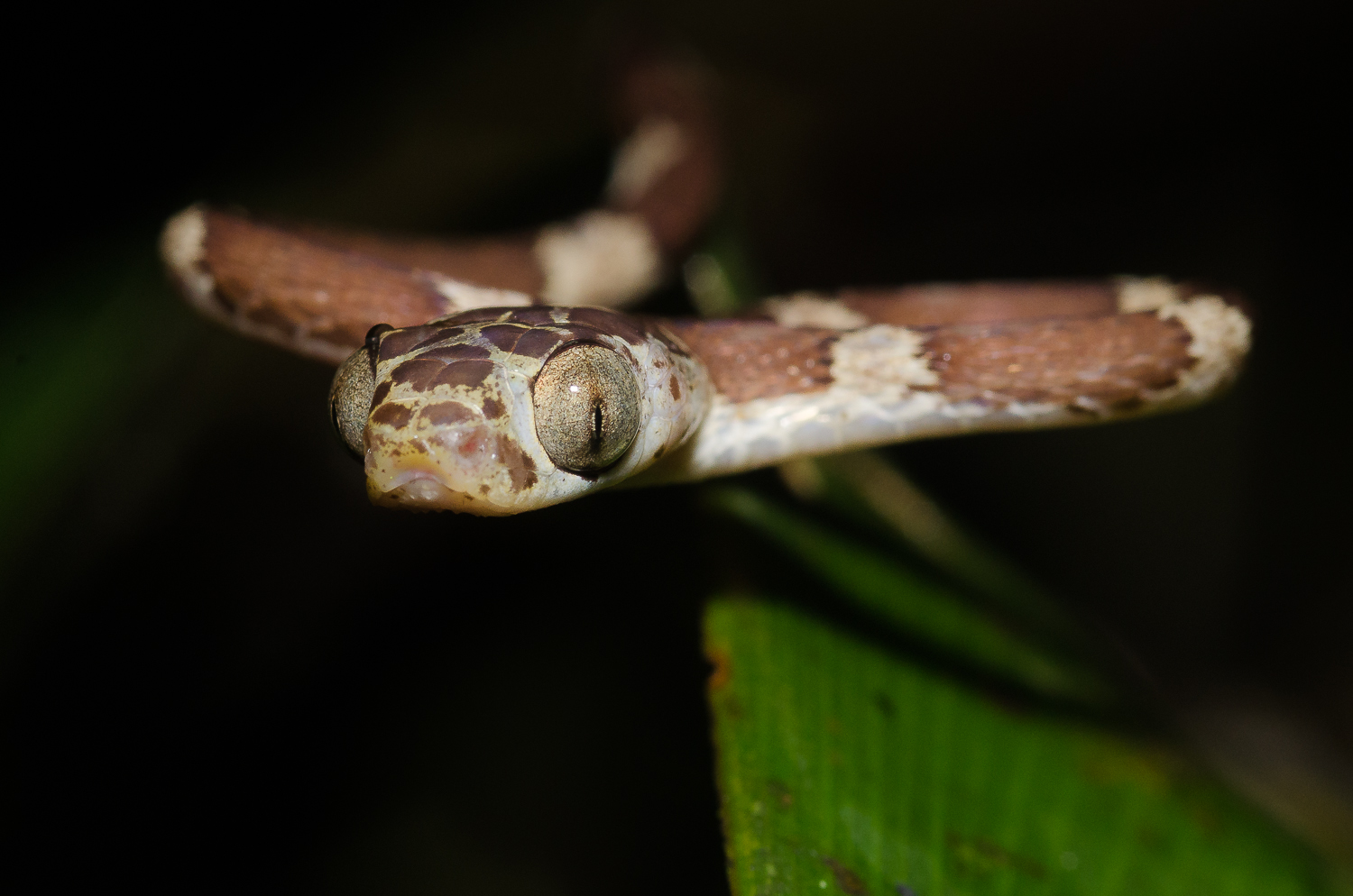 A blunt-head tree snake at night in the jungle.