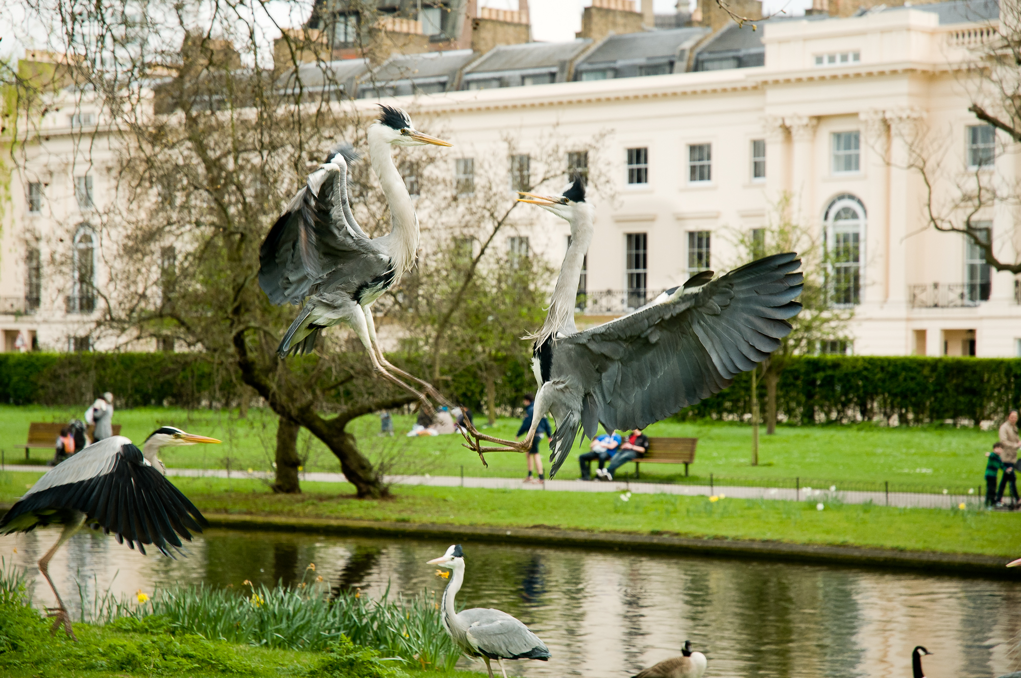Grey herons fighting in a central London park.
