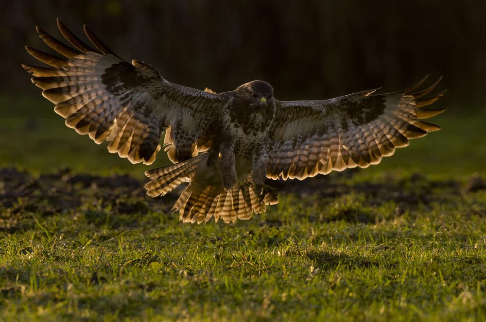 BertieGregory_buzzard_birds.jpg