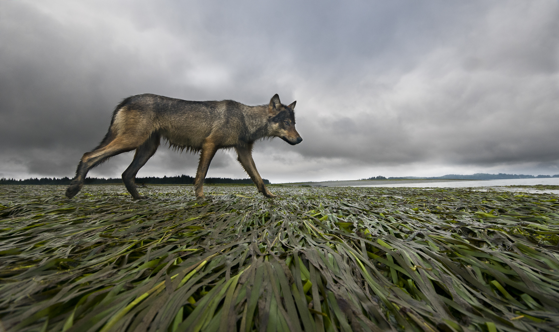 A female coastal grey wolf surveys her mudflat territory at low tide