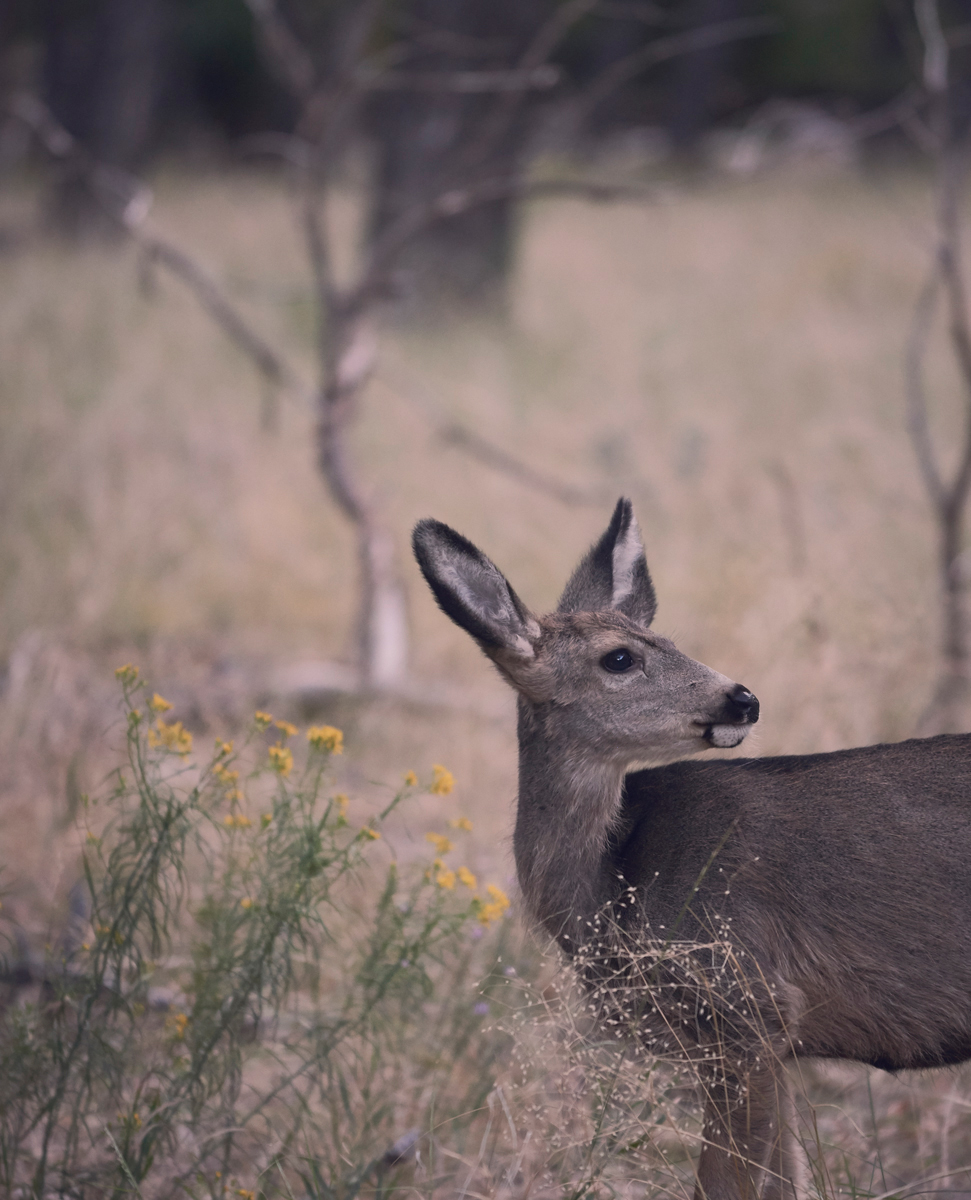 Deer in Zion national park.Kirsty Owen photography