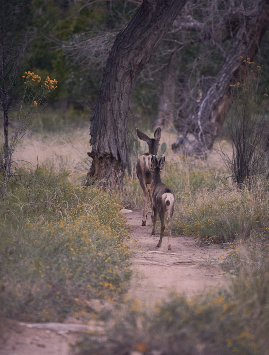 Mother and baby Deer in Zion national park.Kirsty Owen photography
