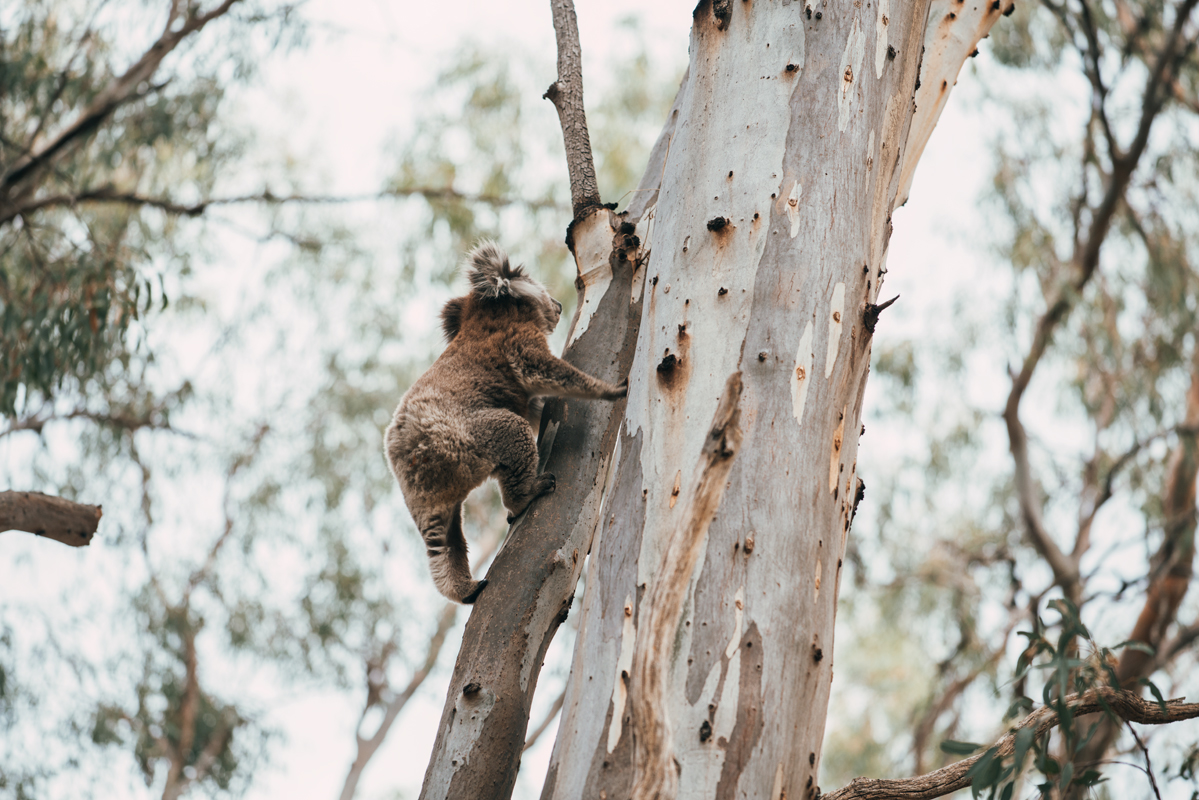 Koala climbing a red gum tree in Victoria Australia